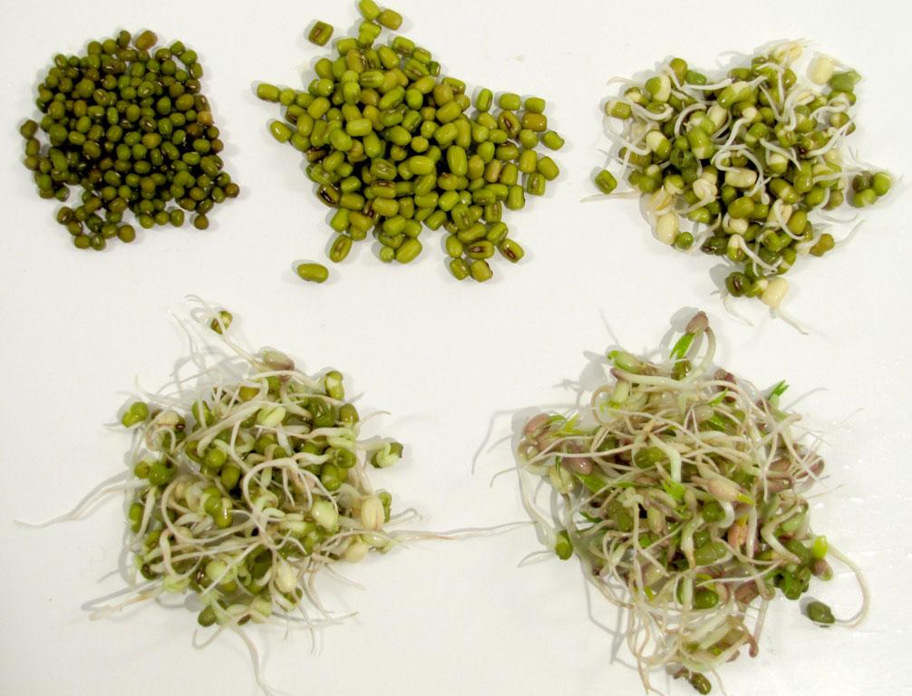 Beansprouts - the worlds smallest veggie garden - www